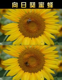 向日葵蜜蜂动态视频  mp4