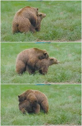 jiaopeixingjiao_棕熊捕鱼实拍视频素材