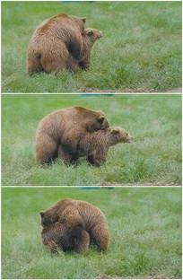 狗熊棕熊草地交配发情小熊视频 mp4