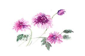 紫色秋菊插画 PSD