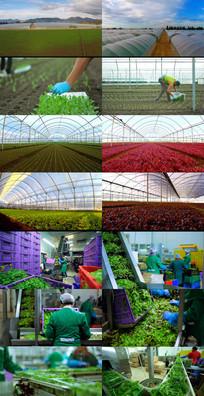 蔬菜基地动态视频