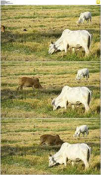 草原牛群吃草实拍视频素材