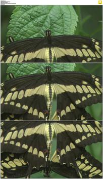 绿叶上蝴蝶交配实拍视频素材