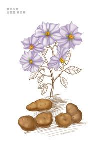 土豆马铃薯花插画