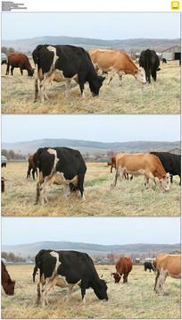 草原上的牛群吃草实拍视频素材