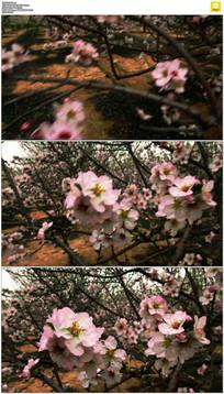 粉红色桃花实拍视频素材