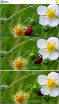 花朵上的七星瓢虫实拍视频素材