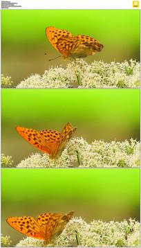 蝴蝶采花蜜实拍视频素材 mov