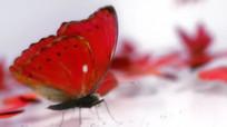 蝴蝶飞舞视频