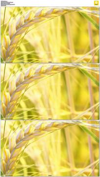 金黄的小麦实拍视频素材