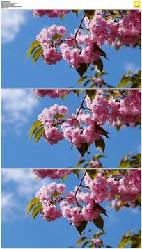 蓝天下的樱花实拍视频素材