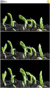 绿色植物发芽生长实拍视频素材 mov