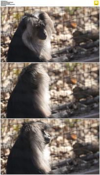 围栏边的猴子实拍视频素材