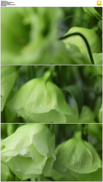 白色忧郁的花朵实拍视频素材