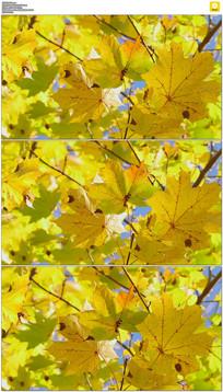 金黄的树叶实拍视频素材