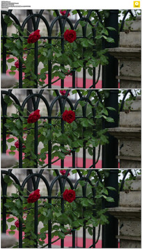 篱笆上盛开红玫瑰实拍视频素材