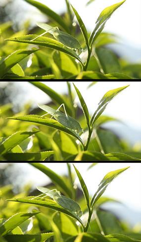 茶叶上的蚂蚱高清实拍视频 avi