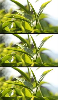 茶叶上的蚂蚱高清实拍视频