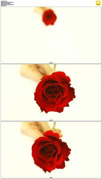 4K一枝玫瑰花实拍视频素材