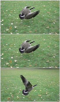 煽动翅膀飞翔实拍视频素材