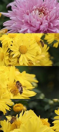 菊花盛开蜂蜜采蜜视频素材