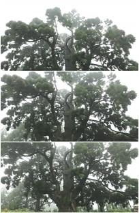 柳杉王百年松树老榕树实拍视频