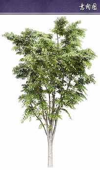 植物ps立面素材