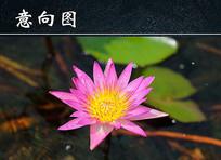 湖面粉色莲花