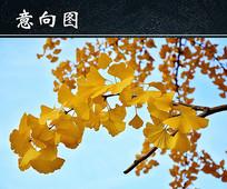 金黄银杏叶图