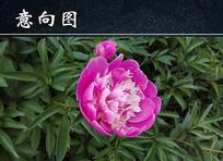枚红色牡丹花