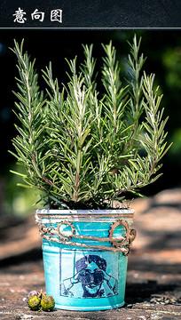 迷迭香盆栽植物
