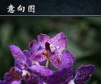 盛开的紫色蝴蝶兰