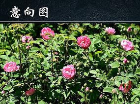 野生粉色玫瑰花