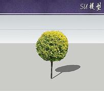 高接金叶榆树su模型