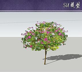 红花羊蹄甲su模型 skp