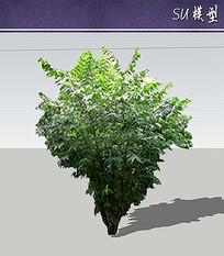 腊梅树SU模型 skp