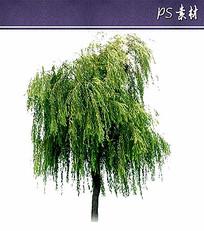 柳树植物立面素材 PSD