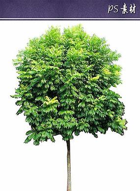 人面子植物立面素材