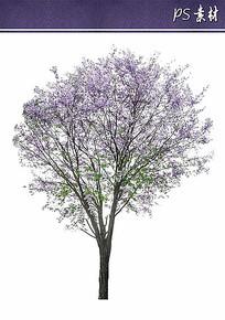 特选蓝花楹植物立面素材 PSD
