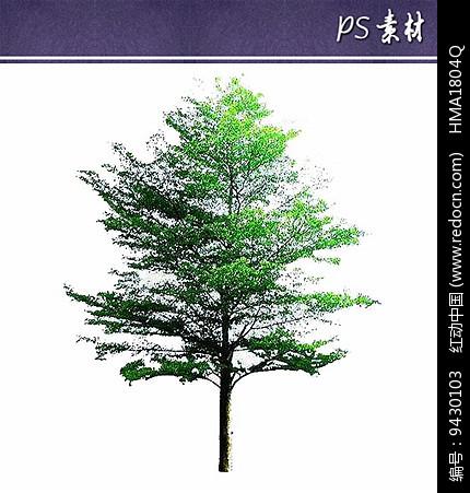 小叶榄仁植物立面素材图片