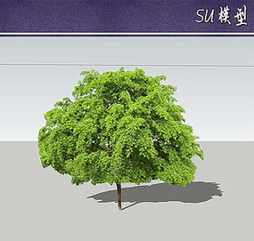 皂角树SU模型 skp