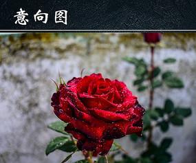 鲜艳红玫瑰图