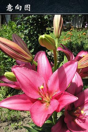 艳丽百合花朵图