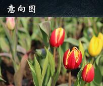 郁金香花苞