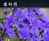 紫色菊花摄影图