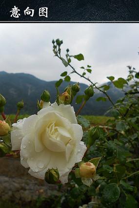 白玫瑰花朵图