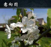 白色樱花花朵