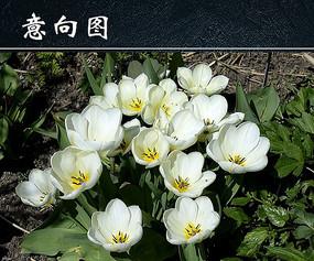 白色郁金香开花图
