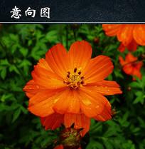 橙色波斯菊图