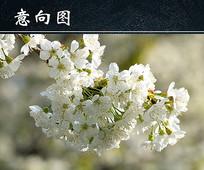春天白色樱花开放图